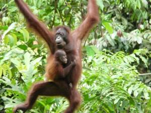 Malaysian Borneo – Visiting the Orangutans
