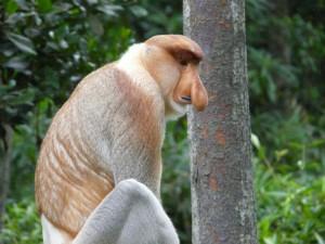 Malaysian Borneo – Visiting the Proboscis Monkeys