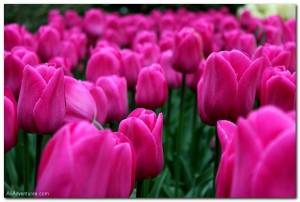 Holland's Famous Tulips in Photos