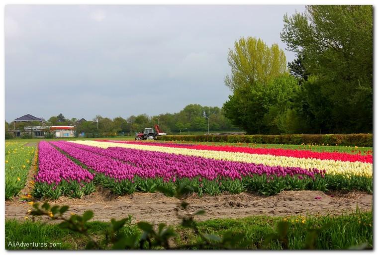 tulips in Keukenhof, Holland, Netherlands