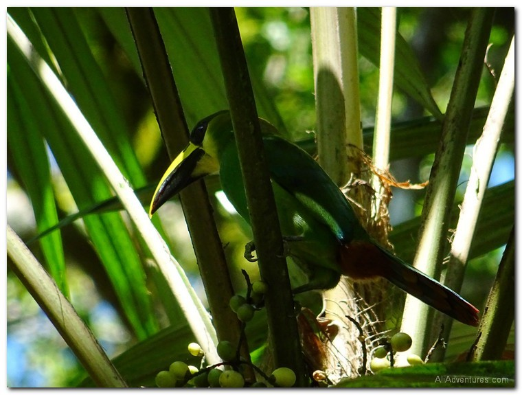Tikal ruins in Guatemala - toucans