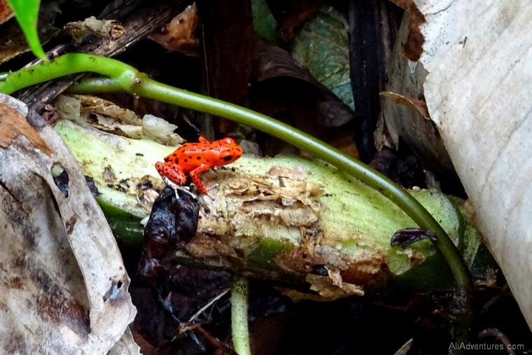 Bocas del Toro Panama red frog