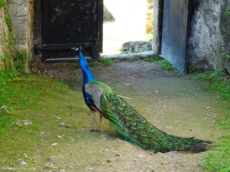 Jajce Bosnia castle peacock