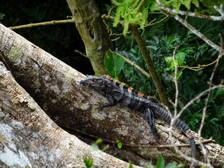 San Juan del Sur, Nicaragua zip lining - lizard