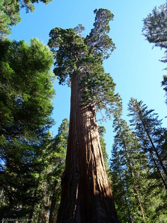 Kings Canyon Grant Tree
