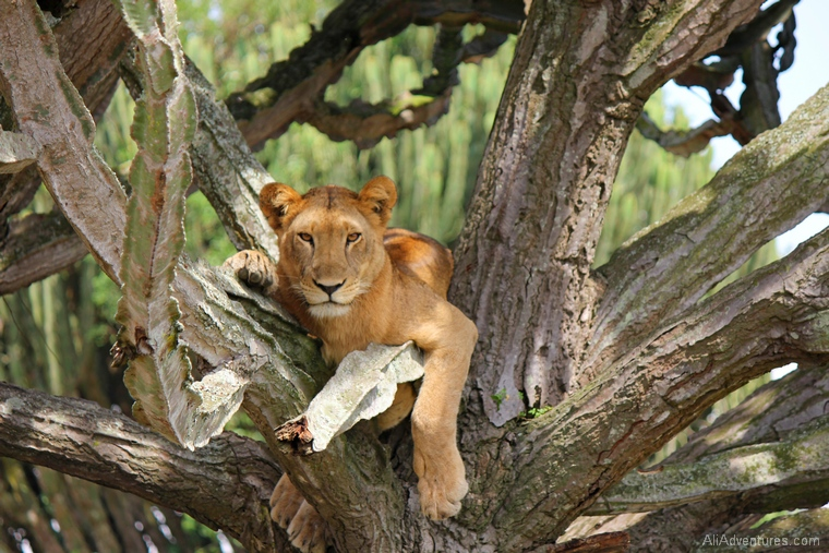 10 years of travel blogging - Uganda safari Queen Elizabeth National Park north lion tracking