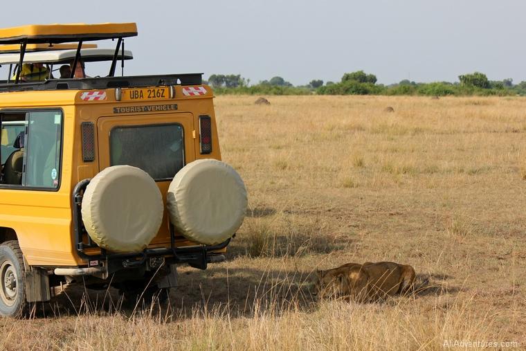 Uganda safari Queen Elizabeth National Park north lion tracking