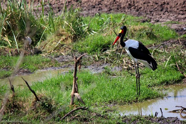 Uganda safari driving through Queen Elizabeth National Park bird