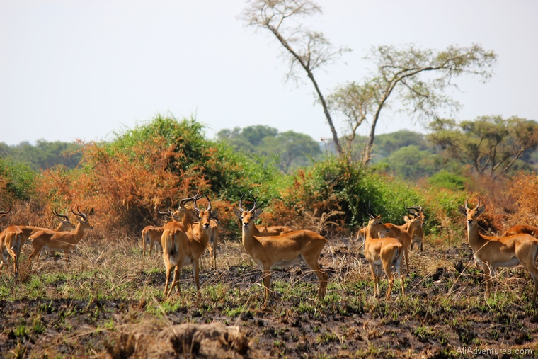 Uganda safari driving through Queen Elizabeth National Park herd of kob