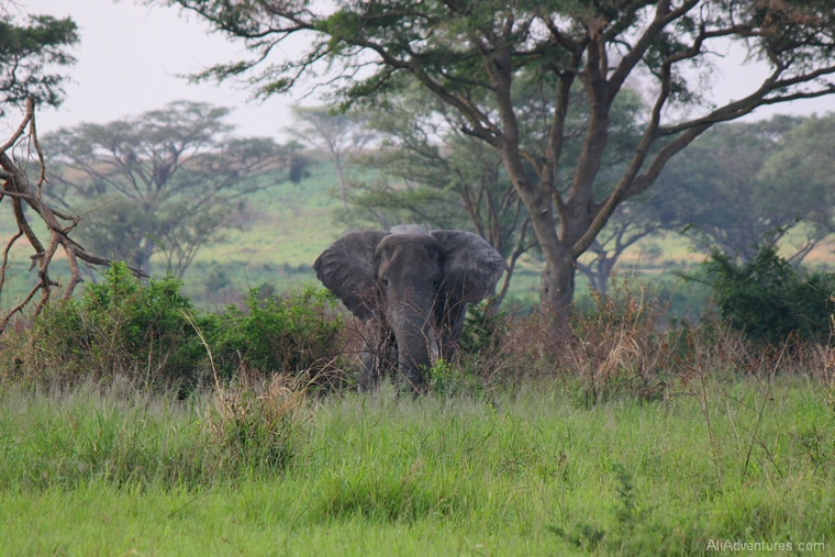 elephant in Queen Elizabeth National Park south Uganda safari