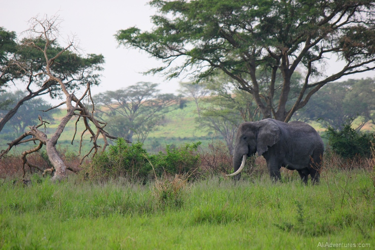 elephant in Queen Elizabeth National Park south safari in Uganda