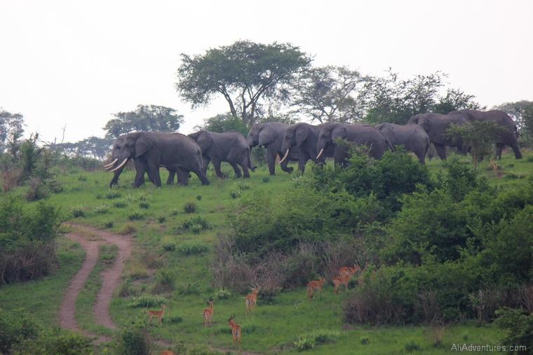 elephants and kob in Queen Elizabeth National Park south Uganda safari