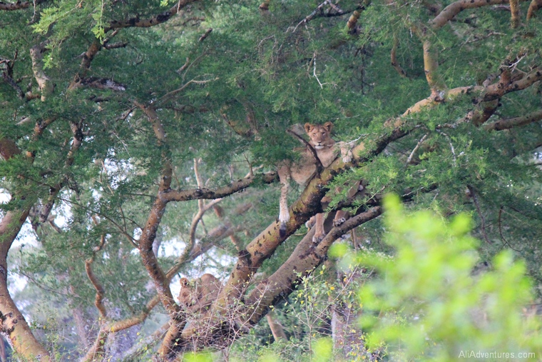 safari in Uganda Queen Elizabeth National Park group of tree climbing lion cubs