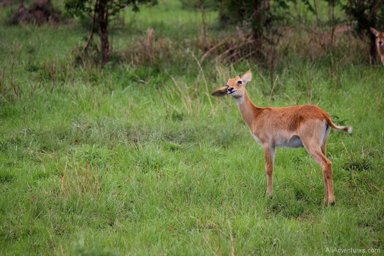 safari in Uganda Queen Elizabeth National Park south baby kob