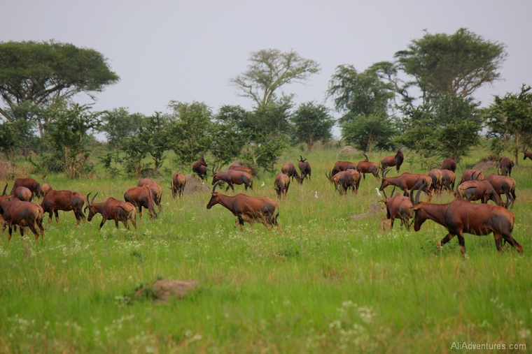 safari in Uganda Queen Elizabeth National Park south herd of topi