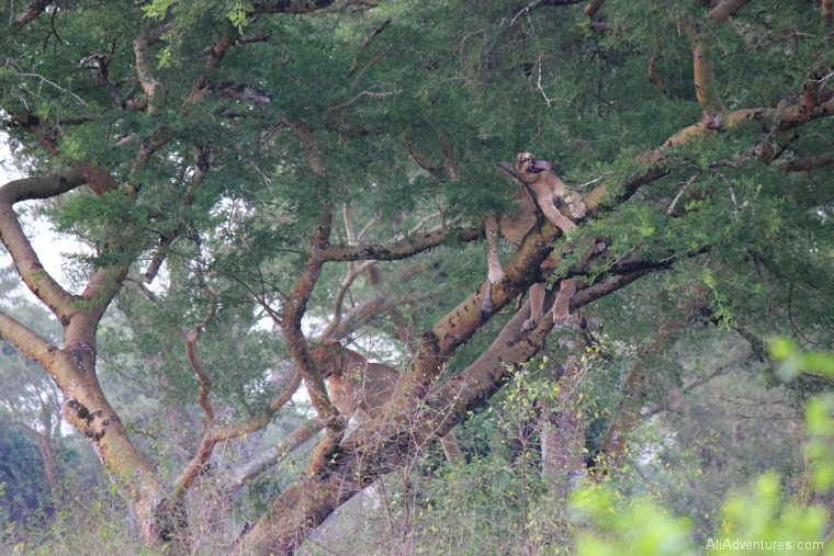 safari in Uganda Queen Elizabeth National Park tree climbing lion cub yawning