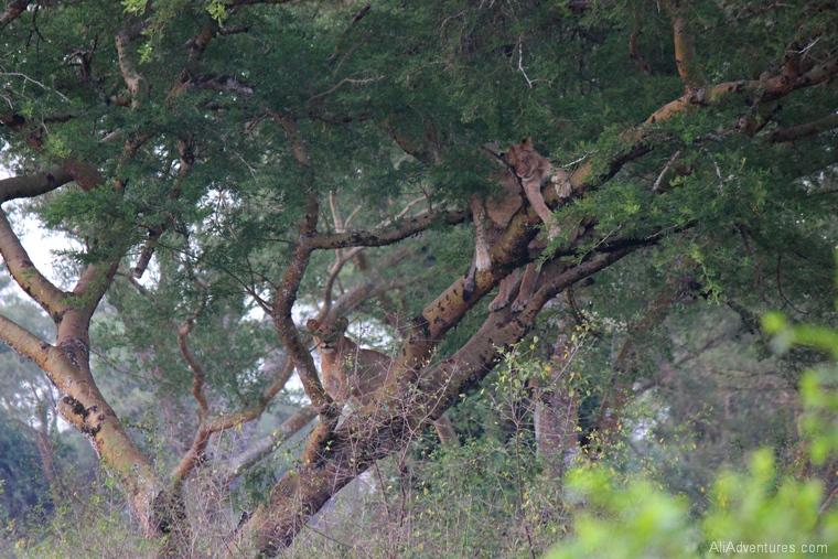safari in Uganda Queen Elizabeth National Park tree climbing lion cubs