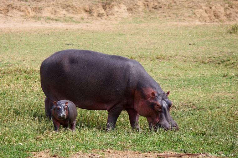 safari in Uganda boat trip baby hippo