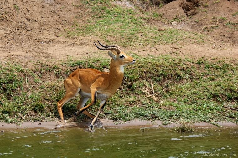 safari in Uganda boat trip kob