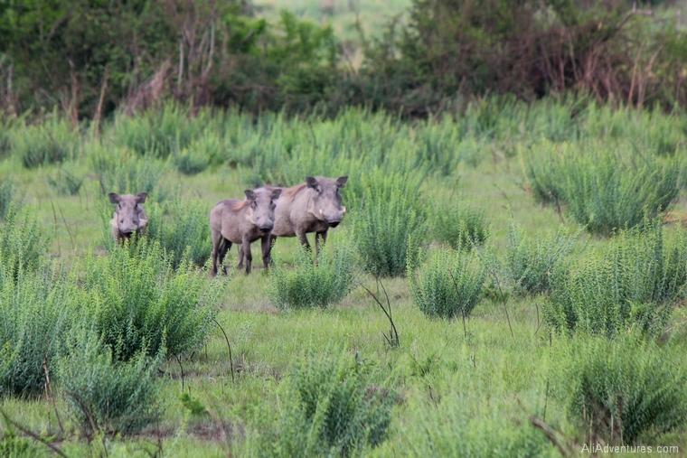 warthogs in Queen Elizabeth National Park south Uganda safari