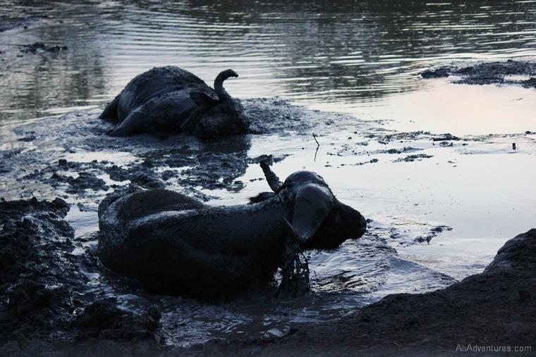 Lake Mburo Uganda safari buffalo