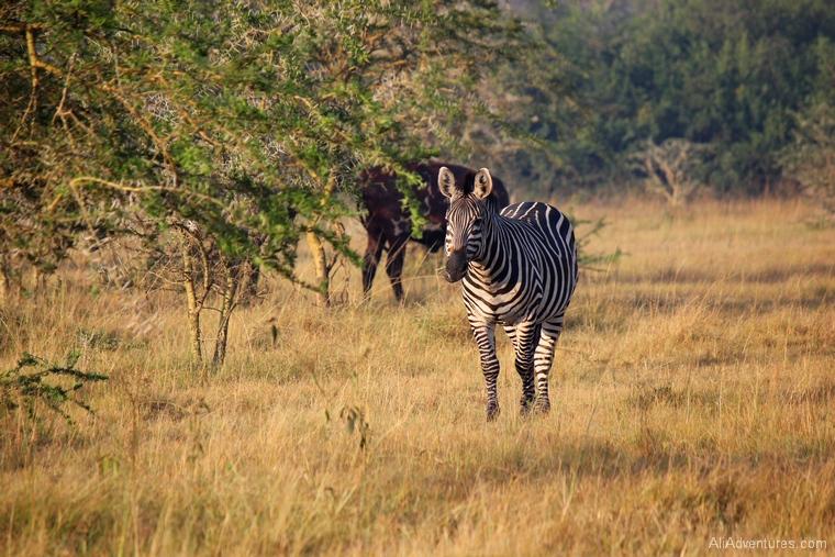Lake Mburo Uganda safari bush walk zebra