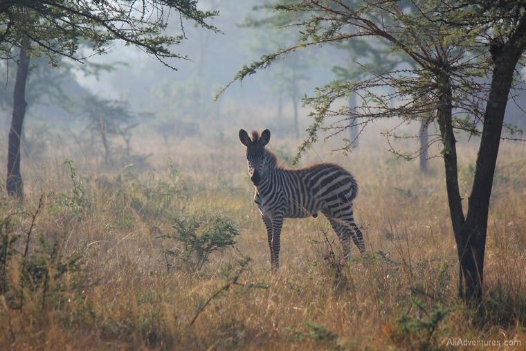 Lake Mburo Uganda safari bush walk baby zebra