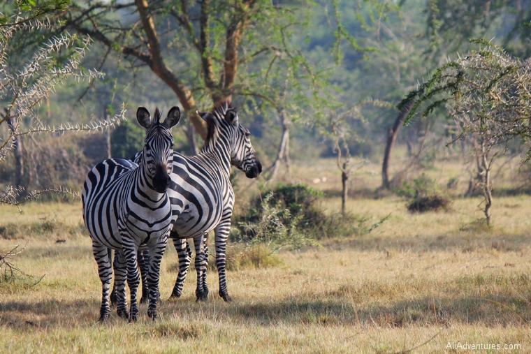 Lake Mburo Uganda safari bush walk zebras