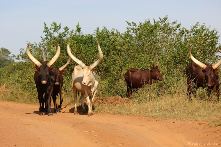 Lake Mburo Uganda safari cows