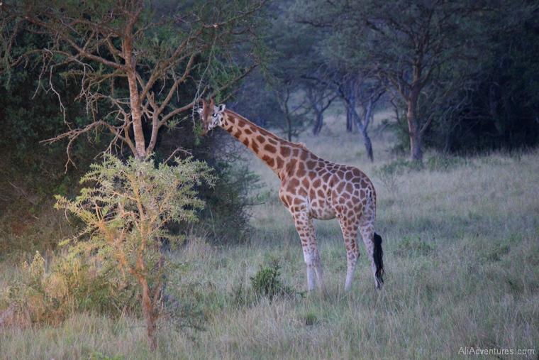 Lake Mburo Uganda safari giraffe
