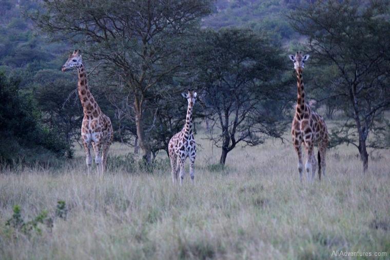 Lake Mburo Uganda safari giraffes