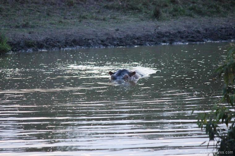 Lake Mburo Uganda safari hippo