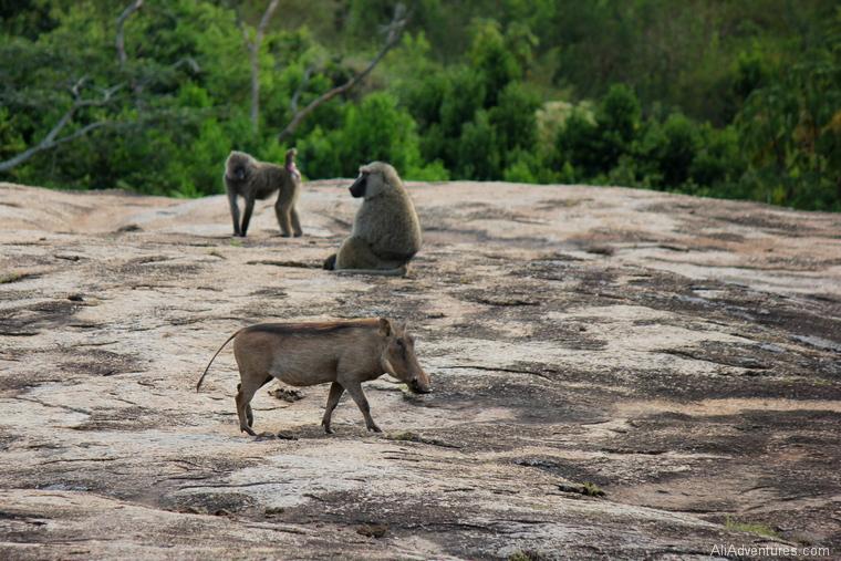 Lake Mburo Uganda safari warthogs and monkeys