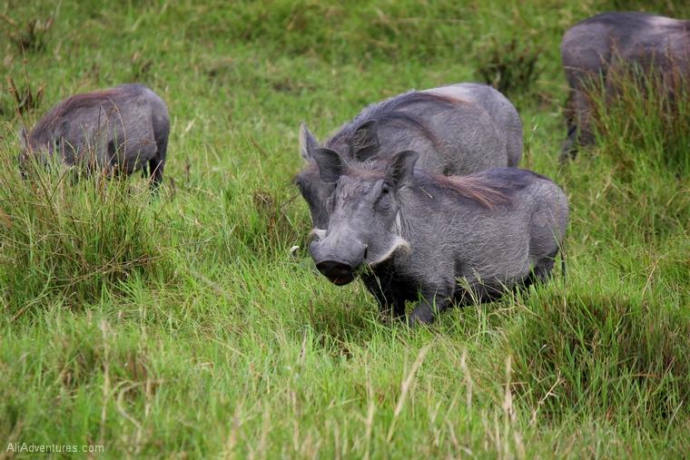 Lake Mburo Uganda safari warthogs