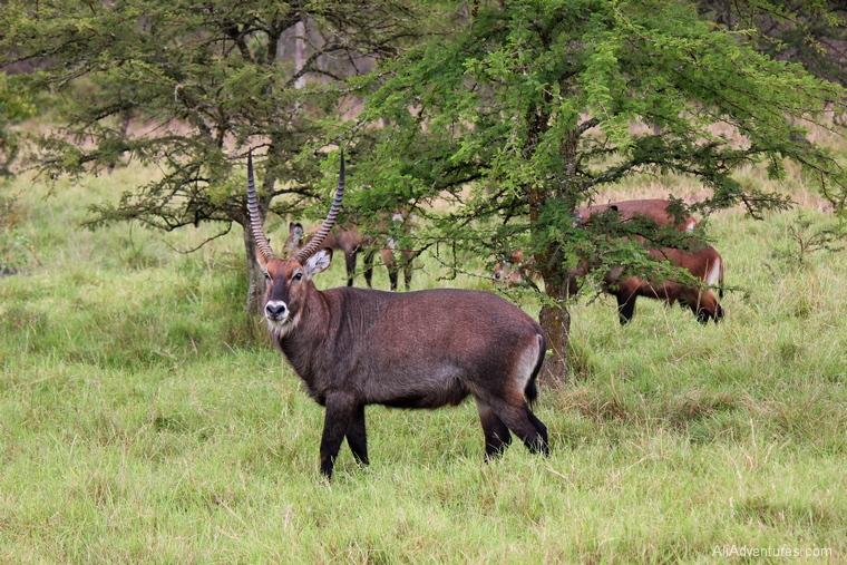 Lake Mburo Uganda safari waterbuck