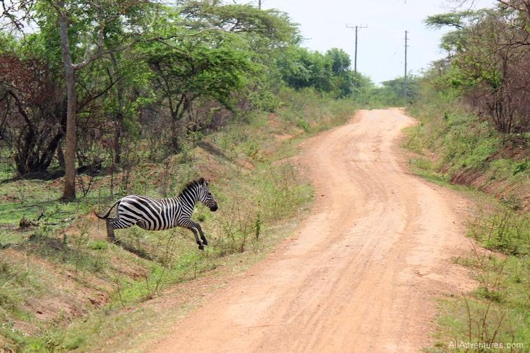 Lake Mburo Uganda safari zebras