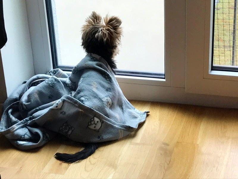 Zelda looking out the window with blanket